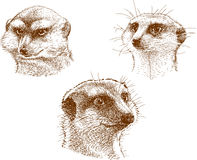 Portraits of three mongooses Royalty Free Stock Photos