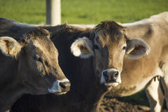 Portraits twins brown cows Royalty Free Stock Photo