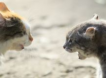 Portraits of two aggressive cats facing each other, hiss at eac Royalty Free Stock Photography