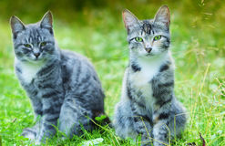 Portraits of two beautiful cats. A striped cat with green eyes Stock Photo