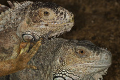 Portraits of two iguanas Stock Photos
