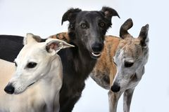 Portraits of three gracefully whippets stock photography