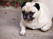 Portraits of a white pug Royalty Free Stock Photos