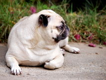 Portraits of a white pug Stock Photos