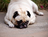 Portraits of a white pug Royalty Free Stock Photo