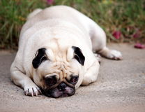 Portraits of a white pug Royalty Free Stock Image