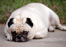 Portraits of a white pug Royalty Free Stock Images