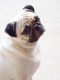 Portraits of a white pug Stock Images