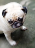 Portraits of a white pug Royalty Free Stock Photography