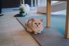 A portraiture of a cat in the cafe with soft light and soft focus. Relax and comfort Stock Photo