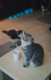 A portraiture of a cat in the cafe with soft light and soft focus. Relax and comfort Royalty Free Stock Photo
