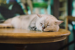 A portraiture of a cat in the room filled with soft light and use soft focus. The focus is on the eyes while WB in shift intendedl Royalty Free Stock Images