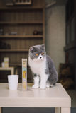 A portraiture of a cat in the room filled with soft light and use soft focus. The focus is on the eyes while WB in shift intendedl Stock Image