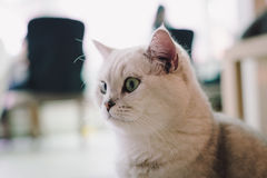 A portraiture of a cat in the room filled with soft light and use a soft focus. Main focus is on the eyes while WB is shifted inte Royalty Free Stock Image