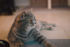 A portraiture of a cat in the room filled with soft light and use soft focus. The main focus point is at the eyes. Stock Image