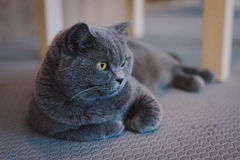 A portraiture of a cat in the room filled with soft light and use soft focus. The main focus point is at the eyes. Photo was taken Stock Images