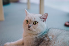A portraiture of a cat in the room filled with soft light and use a soft focus. Relax and comfort. Royalty Free Stock Photos