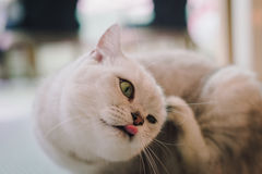 A portraiture of a cat in the room filled with soft light and use a soft focus. Relax and comfort. Stock Images
