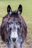 Portraiture of a donkey on green background royalty free stock photography