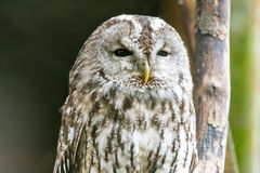Portraiture of an owl sitting on wood with blurred background Stock Image