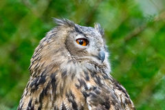 Portraiture of an owl sitting on wood with blurred background Royalty Free Stock Photos