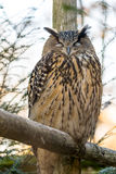 Portraiture of an owl sitting on wood with blurred background Royalty Free Stock Image