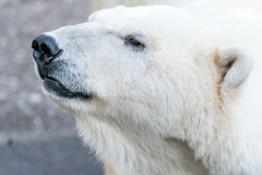 Portraiture of an Polar Bear Royalty Free Stock Images