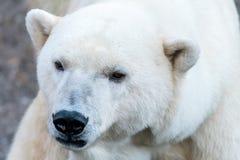 Portraiture of an Polar Bear Stock Photography