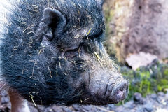 Portraiture on an pot bellied pig Royalty Free Stock Image
