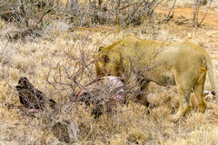Portraiture of young male lion in Kruger National Park, eating a. Carcass of a buffalo in  South Africa Stock Images