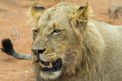 Portraiture of young male lion in Kruger National Park, South Af. Portraiture of young male lion in Kruger National Park in South Africa Stock Photos