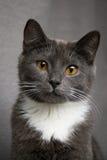 Portrat der Katze Stockbilder