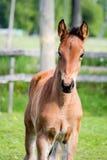 Portrat des netten kleinen Fohlens in der Sommerweide Lizenzfreies Stockfoto