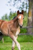 Portrat des netten kleinen Fohlens in der Sommerweide Lizenzfreie Stockfotografie