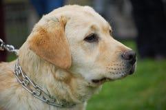 Portrat di Labrador immagini stock