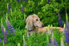 Portrate of borzoi dog Royalty Free Stock Photo