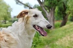 Portrate of borzoi dog Royalty Free Stock Photos