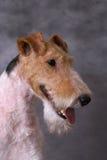 Portrate di Foxterriers fotografie stock