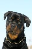 Portrate di Rottweilers fotografia stock libera da diritti