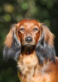 Portrate of red dog Royalty Free Stock Image