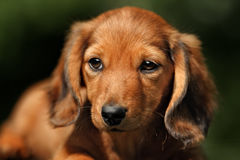 Portrate of red longhear dachshund Stock Image