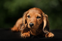 Portrate of red longhear dachshund Stock Images