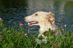 Portrate of russian borzoi Stock Photography