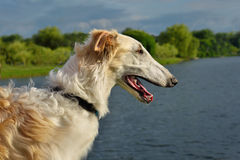 Portrate of russian wolfhound Royalty Free Stock Photo