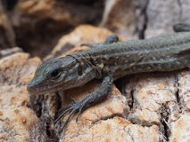 Portrate of a small lizard Stock Photos