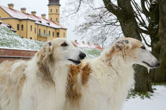 Portrate of two borzoi dogs Stock Photos