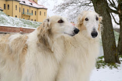 Portrate of two borzoi dogs Stock Images