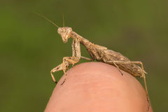 Portrati of a Mantis. Ameles decolor royalty free stock photo