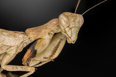 Portrati of a Mantis. Ameles spallanzani female adult royalty free stock images