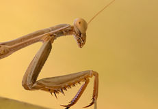 Portrati of a Mantis Stock Photography